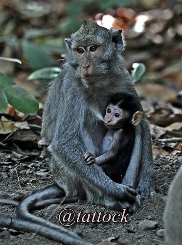 Macaca fascicularis. Induk dan anak.