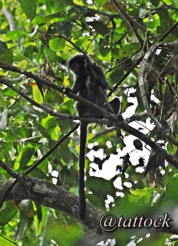 Lutung Budeng (Trachypithecus auratus). Terancam punah. Populasinya tersebar di Jawa, Bali dan Lombok