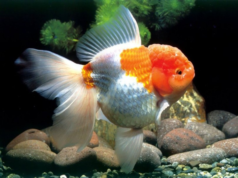 ikan-koki-oranda